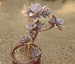 银色风车1_Graptopetalum bainesii f. variegata