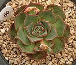 罗西马538_Echeveria longissima