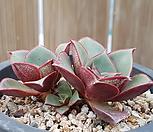 罗西马_Echeveria longissima