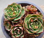 丸葉罗西马桩群生618-2492_Echeveria longissima