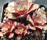 罗西马19_Echeveria longissima