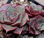 罗西马桩群生_Echeveria longissima