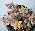 姬秋丽錦160_Graptopetalum Mirinae