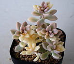 姬秋丽錦161_Graptopetalum Mirinae