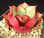 罗西马杂交13-_Echeveria longissima hyb