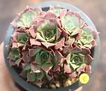 罗西马벨바라1_Echeveria longissima
