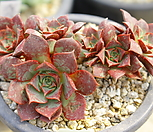 5592.罗西马_Echeveria longissima