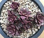 罗西马群生(C-2)_Echeveria longissima
