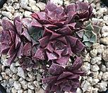 罗西马(C-9)_Echeveria longissima