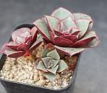 罗西马群生A2491_Echeveria longissima