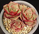 罗西马14-_Echeveria longissima