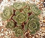 丸葉罗西马8-643_Echeveria longissima
