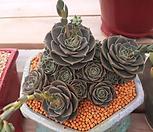 丸葉罗西马老庄群生(30头이상일듯...엄청많아요^^;;)_Echeveria longissima