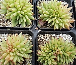 东云缀化_Echeveria agavoides f.cristata Echeveria