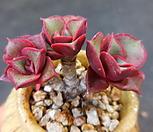 日本原始种罗西马(迷你)621-247_Echeveria longissima
