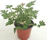 [꽃大통령]粉色Pelargonium capitatum모기퇴치식물_Pelargonium capitatum
