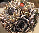 粉色原始绿爪65_Echeveria mexensis 'Zaragosa'