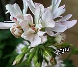볼드앤+龙宫城(pelargonium inquinans)_Crassula Ivory Pagoda