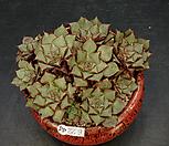 罗西马벨바라-11头_Echeveria longissima