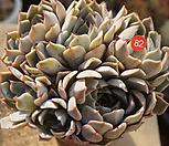 粉色原始绿爪82_Echeveria mexensis 'Zaragosa'
