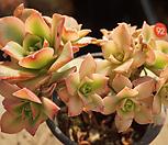 艳日辉92_Aeonium decorum f variegata