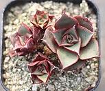 原始种罗西马8562合并일수있습니다._Echeveria longissima