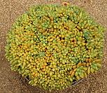 千代田之松缀化457_Pachyphytum compactum