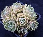 昂斯洛23_Echeveria cv  Onslow