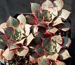 罗西马23_Echeveria longissima