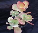 唐印錦23_Kalanchoe thysifolia
