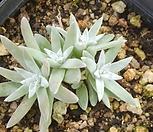 格诺玛4头/_Dudleya White gnoma(White greenii / White sprite)