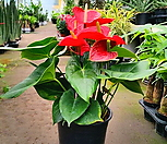 Anthurium andraeaeanum빨강大品粉色Anthurium andraeaeanum백색Anthurium andraeaeanum_Anthurium andraeaeanum