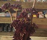 黑法师缀化._Aeonium arboreum var. atropurpureum