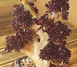 黑法师缀化_Aeonium arboreum var. atropurpureum