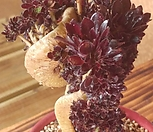 黑法师缀化.._Aeonium arboreum var. atropurpureum