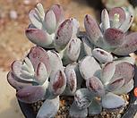 乒乓福娘20_Cotyledon orbiculata cv