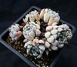 흑原始绿爪23(老庄)_Echeveria mexensis 'Zaragosa'