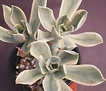 fred錦(컷팅)_Graptoveria Fred Ives
