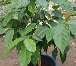 커피나무(花盆포함80cm)_