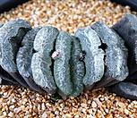 玉扇352_Haworthia truncata