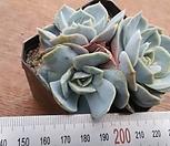 蓝色惊喜3_Echeveria Blue Surprise