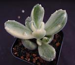 黄熊7-2_Cotyledon tomentosa ssptomentosa