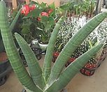 소뿔Sansevieria Stuckyi(大)75(산세베리/코뿔소Sansevieria Stuckyi)_Sansevieria Stuckyi