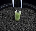 XP1892-C.deviumssp.stiriiferum데이빔스트리페룸_
