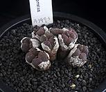 XP1897-C.pellucidumssp.cupreatum쿠프레아툼群生_