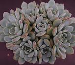 姬莲1(紫心)_Echeveria Minima