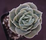 可爱玫瑰16-1_Lovely Rose