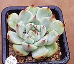 SHIMOYAMA7107-1033_Echeveria SHIMOYAMA Colorata