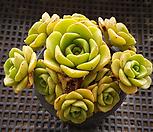 百合莉莉自然群生17_Aeonium LilyPad