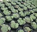 小红衣(随机)_Echeveria globulosa